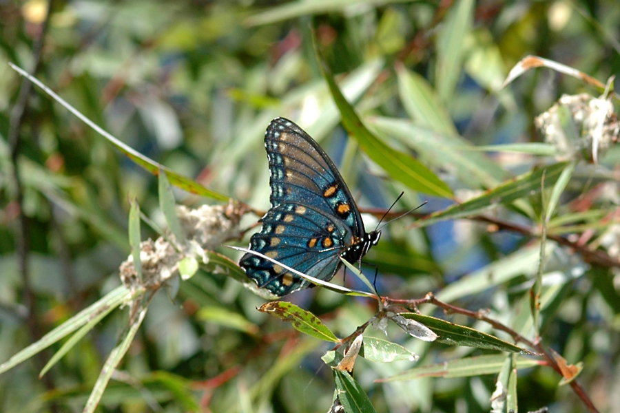 Photographs of the Arizona Red-spotted Purple butterfly - Limenitis arthemis arizonensis