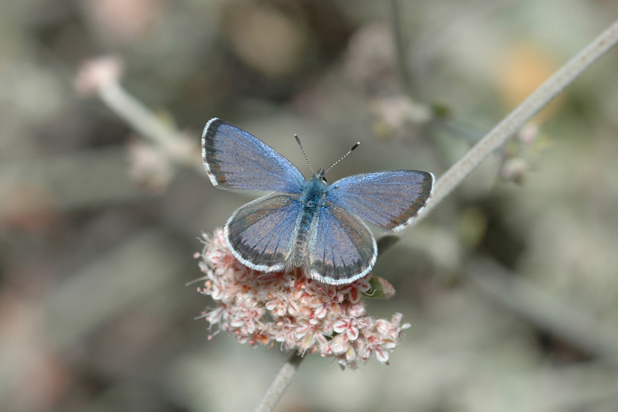 Euphilotes bernardino ssp. - Santa Monica Mountains Blue