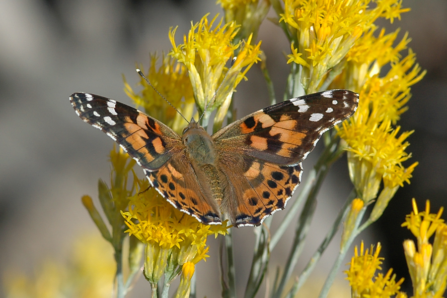 Vanessa cardui - Painted Lady