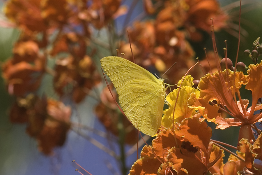 Phoebis agarithe fisheri - Large Orange Sulphur