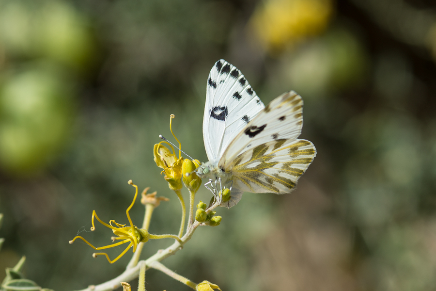 Ovipositing female Becker's White butterfly - Pontia beckerii