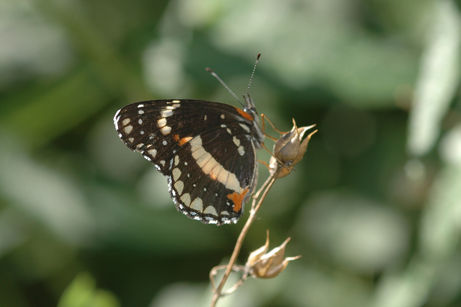 Chlosyne lacinia - Bordered Patch