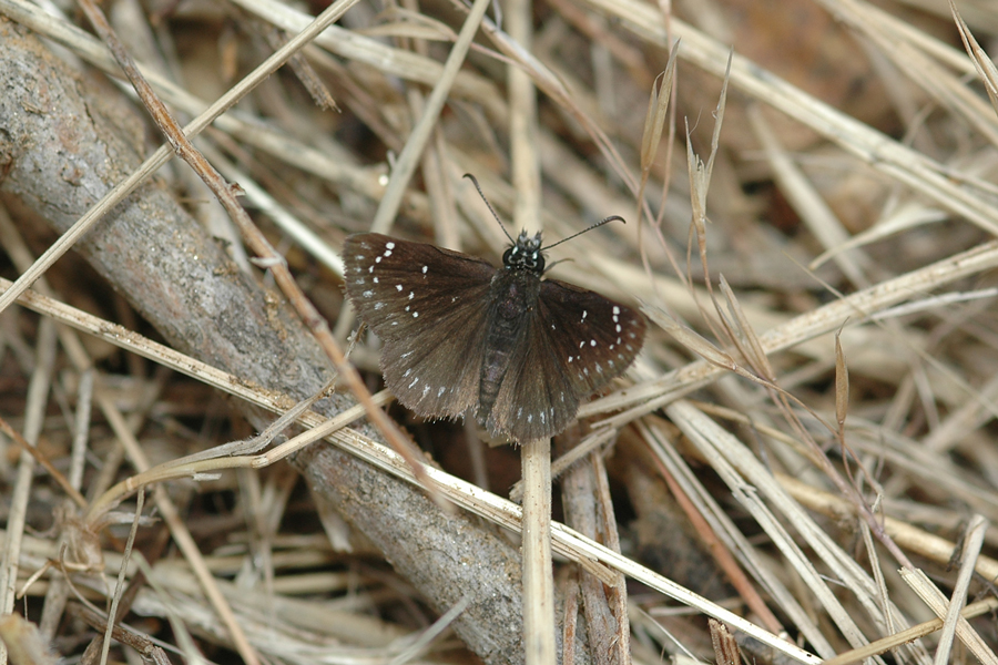 Pholisora catullus - Common Sootywing