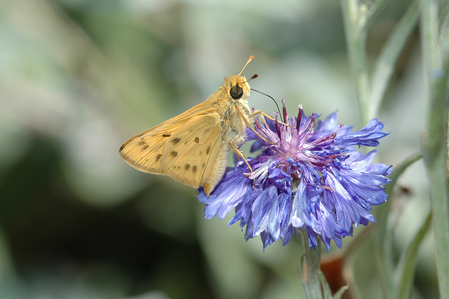Hylephila phyleus  - The Fiery Skipper