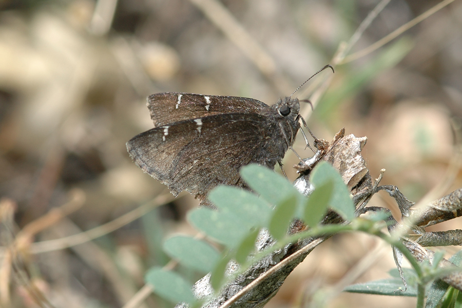 Thorybes pylades - Northern Cloudywing