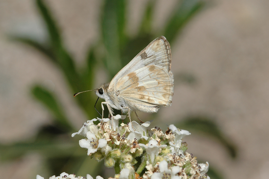 Heliopetes ericetorum - Northern White-Skipper