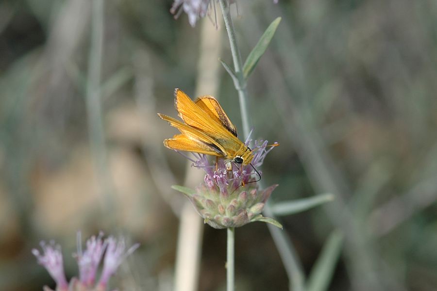 Copaeodes aurantiaca - Orange Skipperling