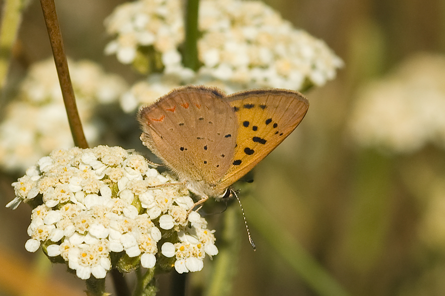 Purplish Copper - Lycaena helloides