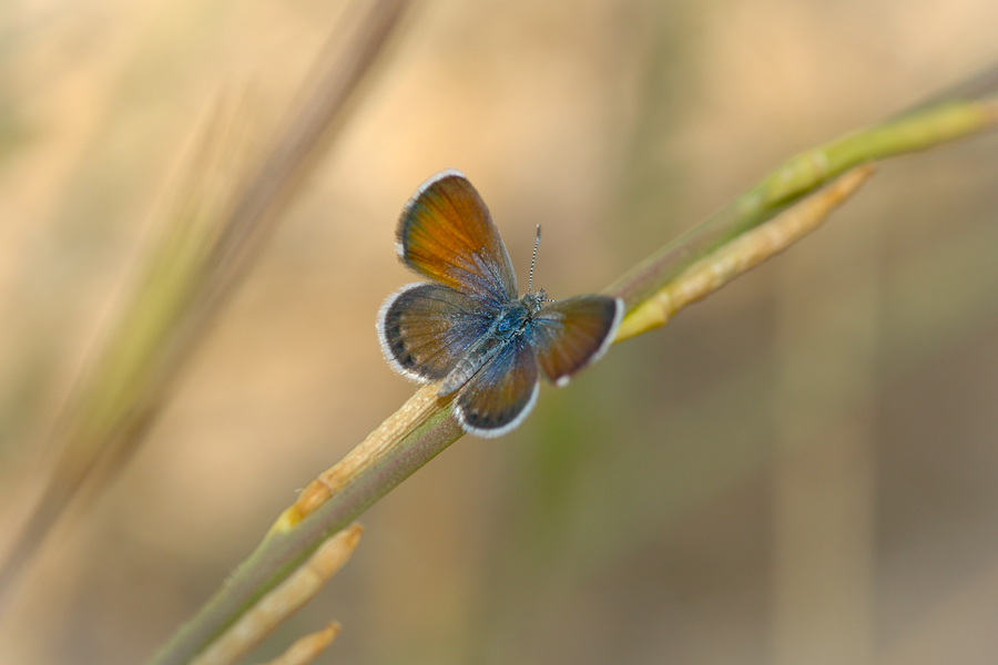 Western pygmy blue butterfly - photo#9