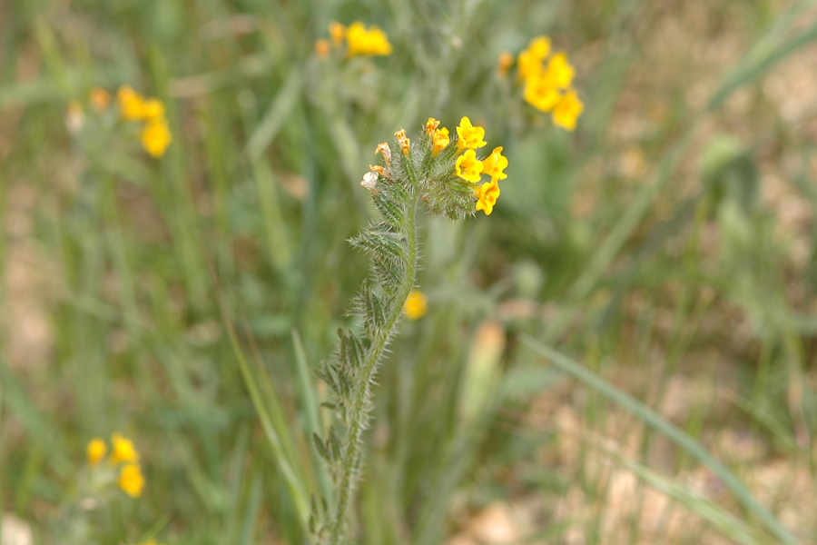 Common Fiddleneck - Amsinckia intermedia