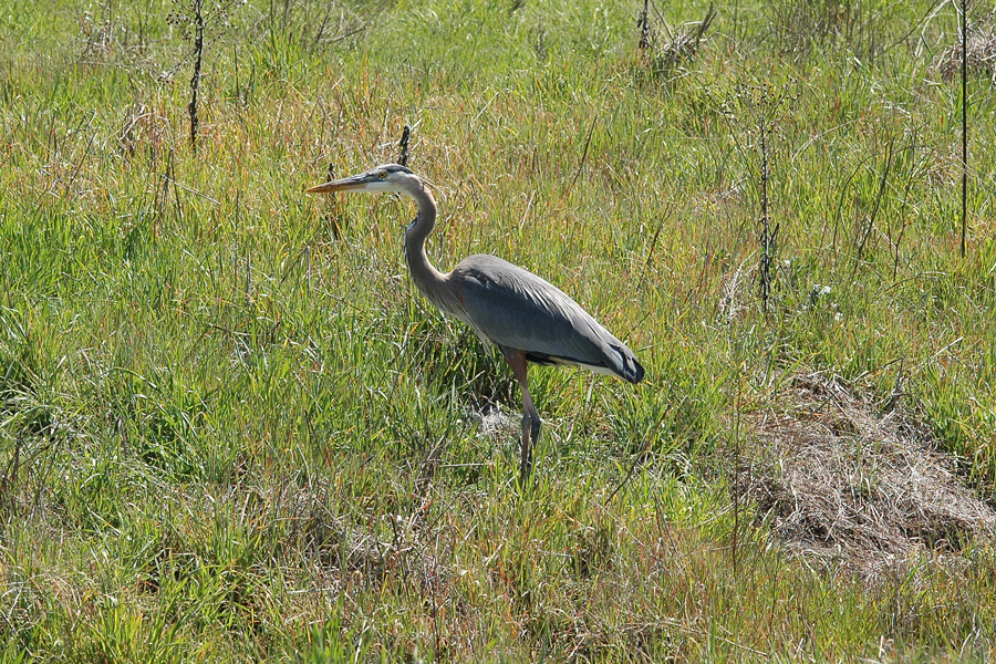 Grass with Blue Heron